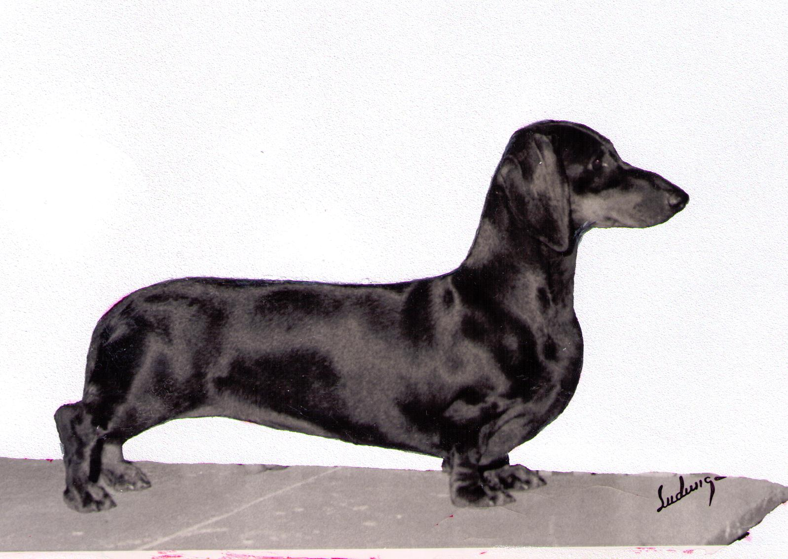 bis am can ch monica of heying teckel the dachshund history project. Black Bedroom Furniture Sets. Home Design Ideas