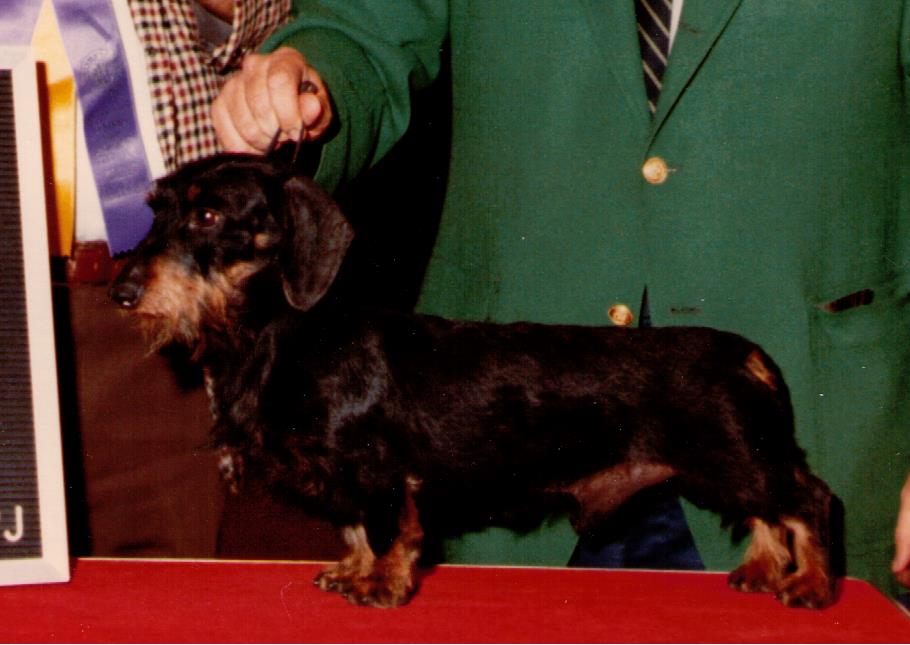 Stunning Soft Wirehaired Dachshund Photos Electrical And